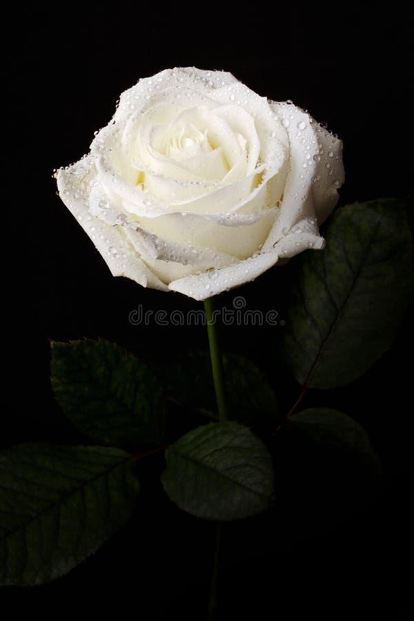 Witte Rose Black Background royalty-vrije stock afbeelding