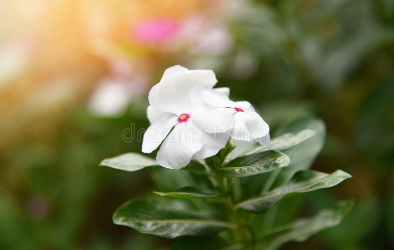 Witte Rose Periwinkle in Bloemtuin stock foto
