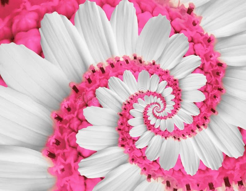 Witte roze nam van de kosmoskosmeya van het kamillemadeliefje de bloem spiraalvormige abstracte fractal effect patroonachtergrond stock foto