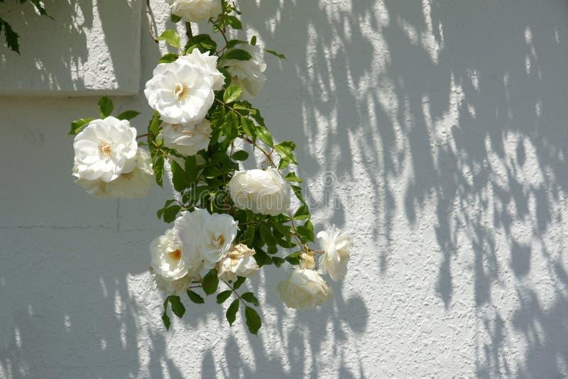 Witte rozen 10 stock foto
