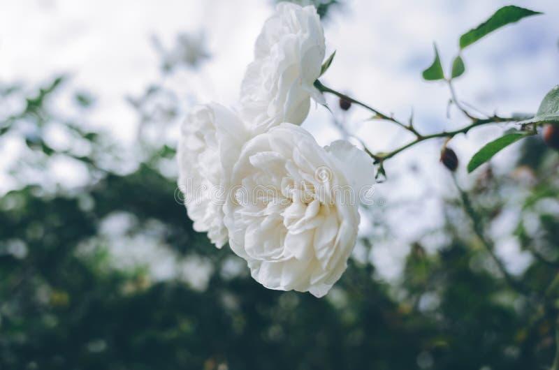 Witte rozen royalty-vrije stock afbeelding