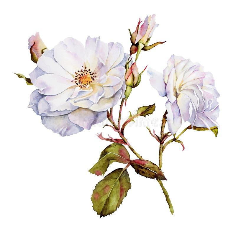 Witte rozen botanische waterverf royalty-vrije illustratie