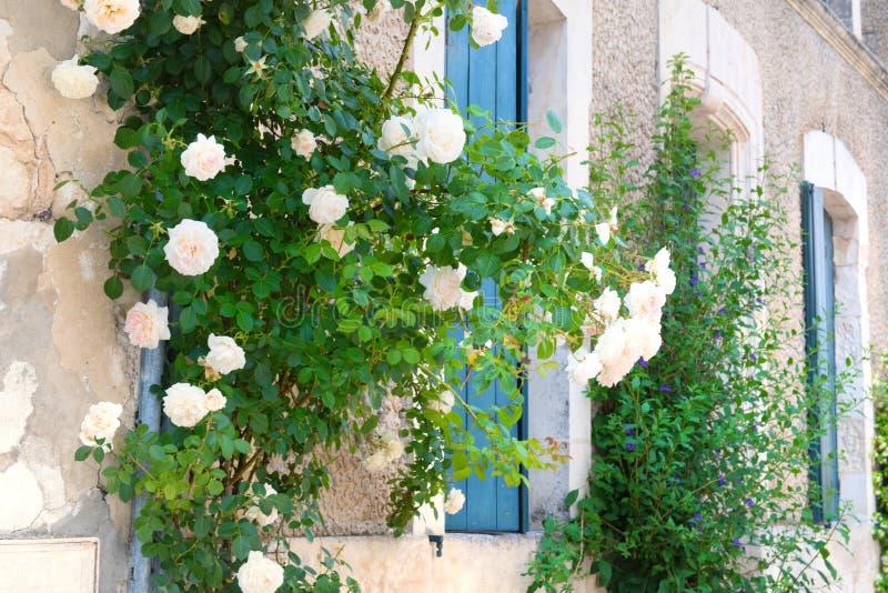 Witte rozen met blauwe zonneblinden op de vensters royalty-vrije stock foto