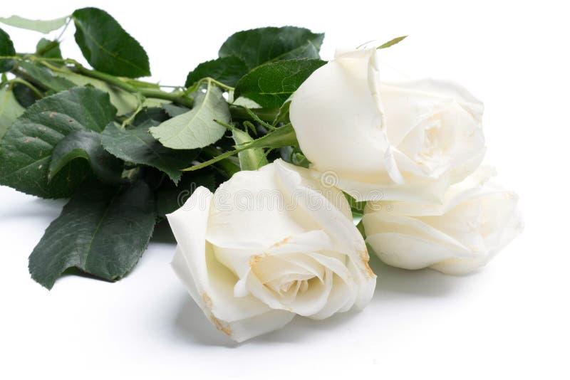 Witte rozen op een wit royalty-vrije stock afbeeldingen