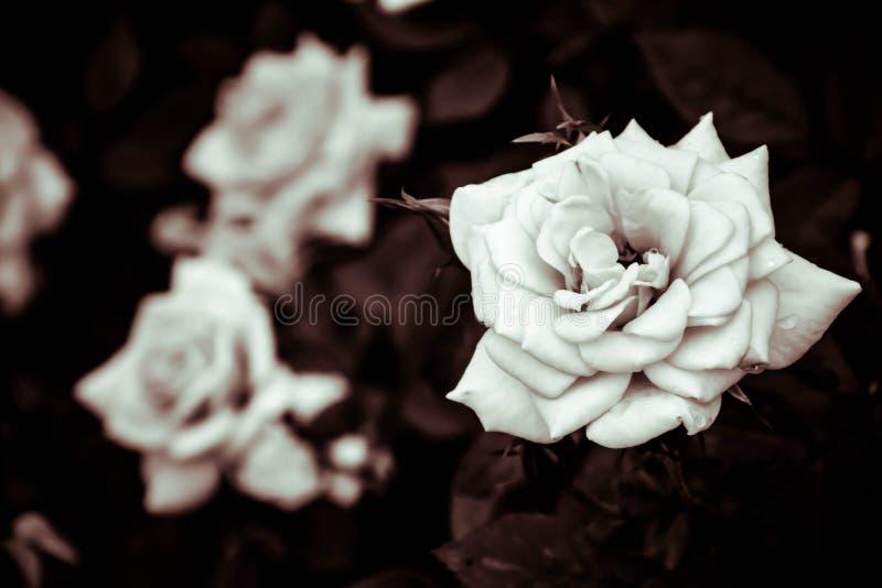 witte rozenbloem in de tuin met filtereffect retro uitstekende stijl royalty-vrije stock afbeeldingen