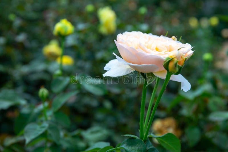 Witte rozenbloem op groene achtergrond, botanische tuinfotocloseup Sjabloon voor elastische rozenbloemen stock afbeeldingen
