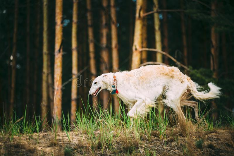 Witte Russische Barzoi sighthound, gazehound jachthond, het lopen royalty-vrije stock fotografie