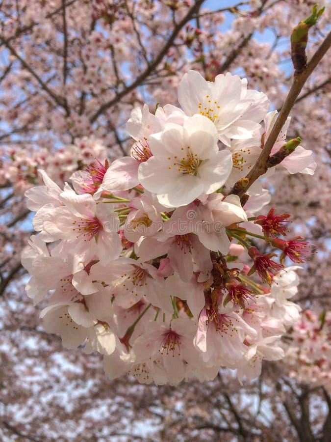 Witte sakura van de kersenbloesem op boom met de vage bloemenachtergrond stock afbeeldingen