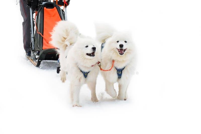 Witte Samoyed-Hond in uitrusting van het Noorden in de winter stock afbeelding