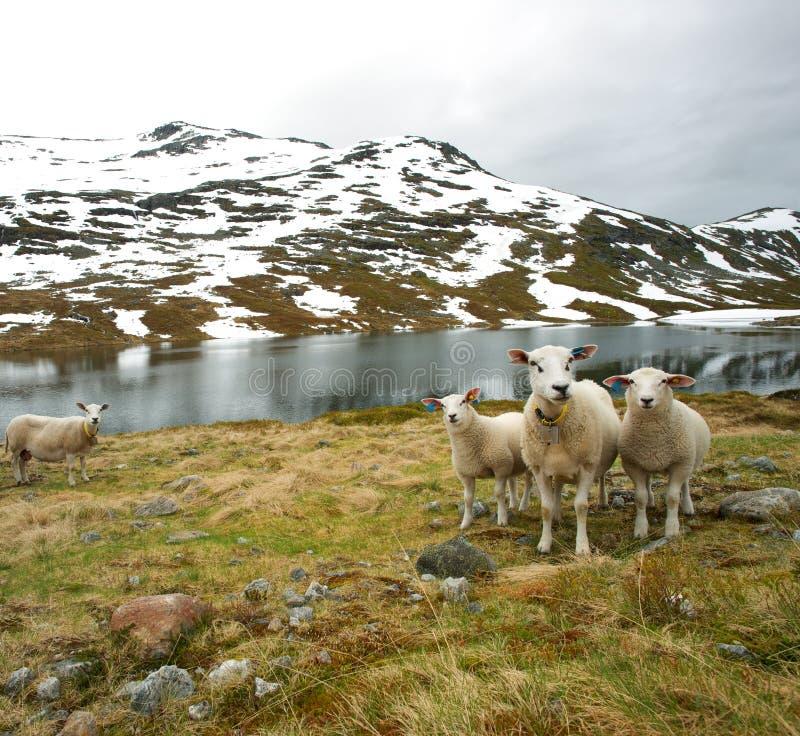 Witte schapen dichtbij meer stock afbeeldingen