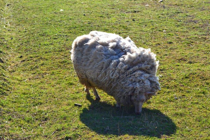 Witte schapen op gras Landelijk landschap De dieren van het landbouwbedrijf Schapenbont royalty-vrije stock afbeeldingen