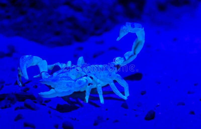 Witte schorpioen met een blauw lichteffect, gevaarlijk dier van de woestijnen van Afrika royalty-vrije stock afbeeldingen