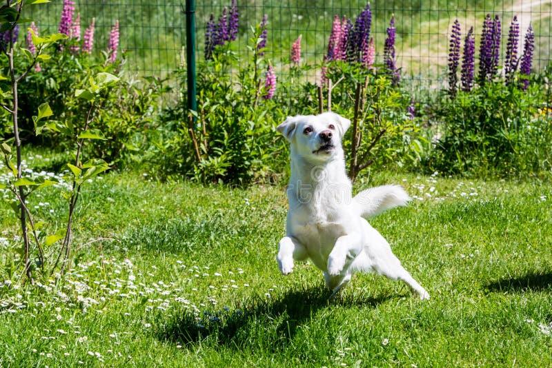 Witte schuilplaatshond op een weide in de tuin royalty-vrije stock fotografie