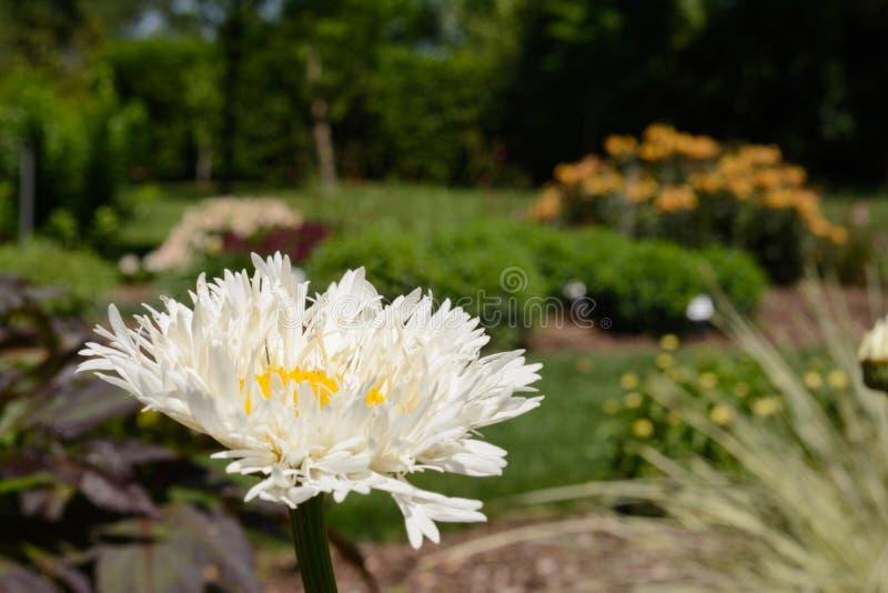 Witte Shasta Daisy Flower Selective Focus Foreward Standout royalty-vrije stock fotografie