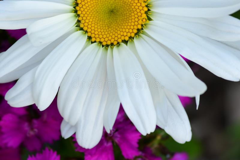 Witte Shasta Daisy over Purpere Wildflowers royalty-vrije stock afbeeldingen