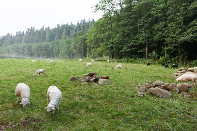 Witte sheeps op weide, lam royalty-vrije stock foto