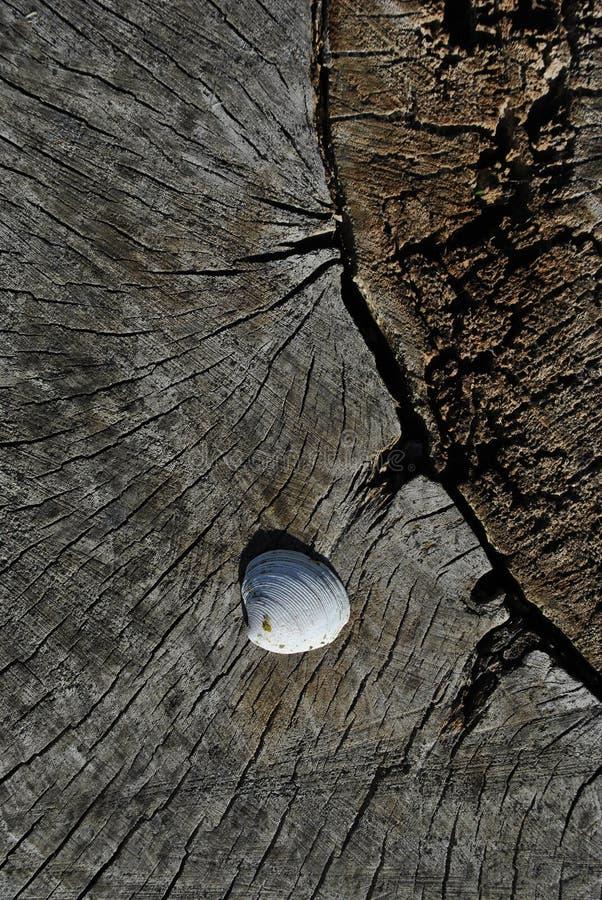Witte shell op de oude gebarsten geweven, bruine onscherpe achtergrond van de boomboomstam, sluit omhoog detail royalty-vrije stock foto's
