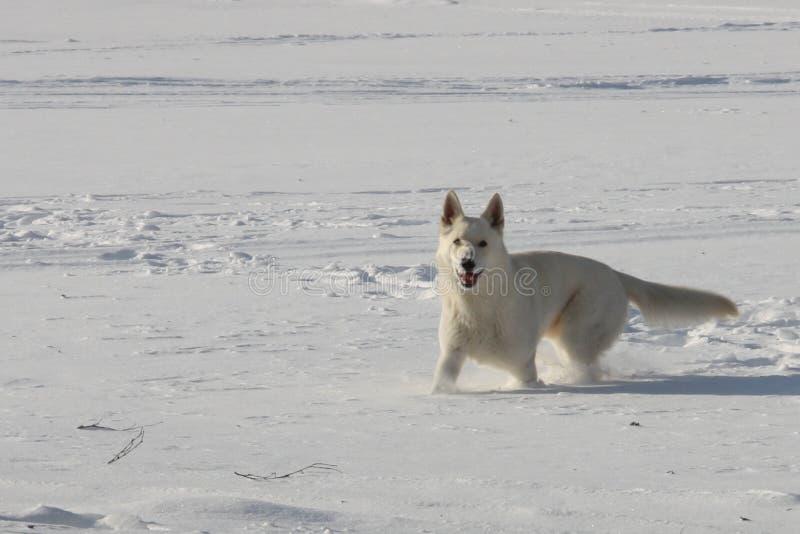 Witte shephers die het spelen van ` s in de sneeuw royalty-vrije stock afbeeldingen