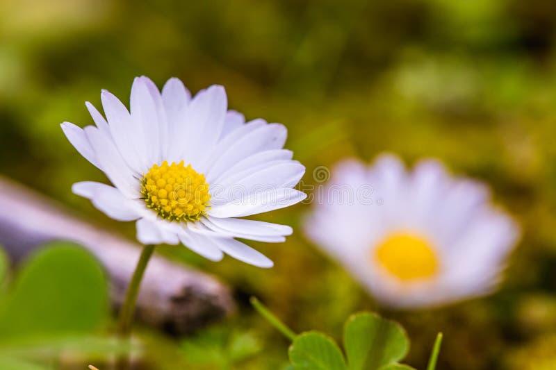 Witte Siciliaanse wildflowers royalty-vrije stock fotografie