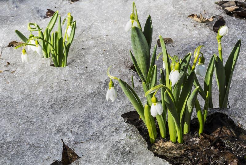 Witte sneeuwklokjes in de sneeuw royalty-vrije stock foto's