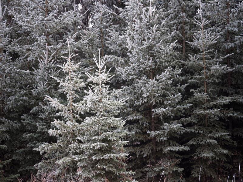 Download Witte Sparren Of Picea Glauca Die In Hoar-Vorst Wordt Behandeld Stock Afbeelding - Afbeelding bestaande uit vegetatie, behandeld: 114228029