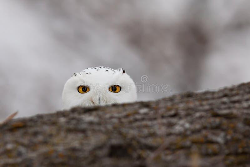 Witte Spion stock foto