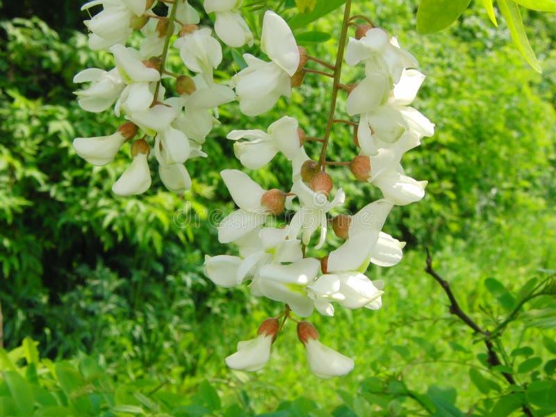 Witte sprinkhanenbloem stock fotografie