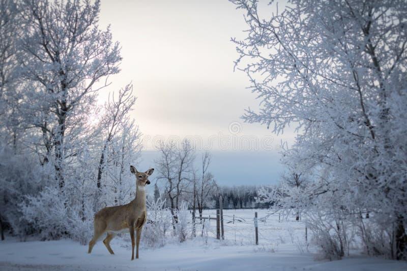 Witte staartvrouwtjesherten die in de sneeuw staan stock afbeelding