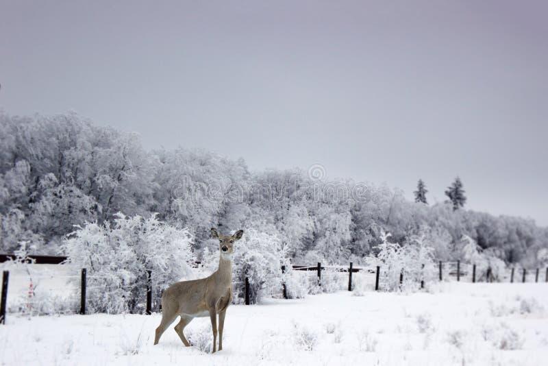 Witte staartvrouwtjesherten die in de sneeuw staan royalty-vrije stock fotografie