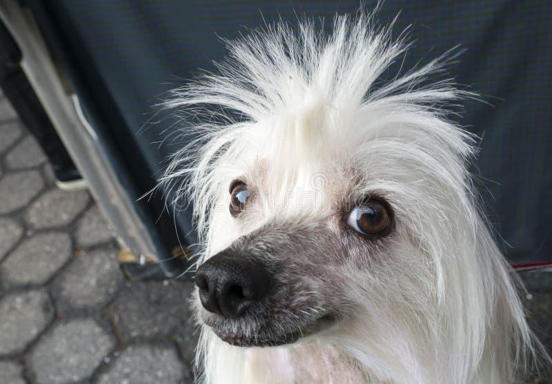 Witte stekelige haired poedelhond stock foto's