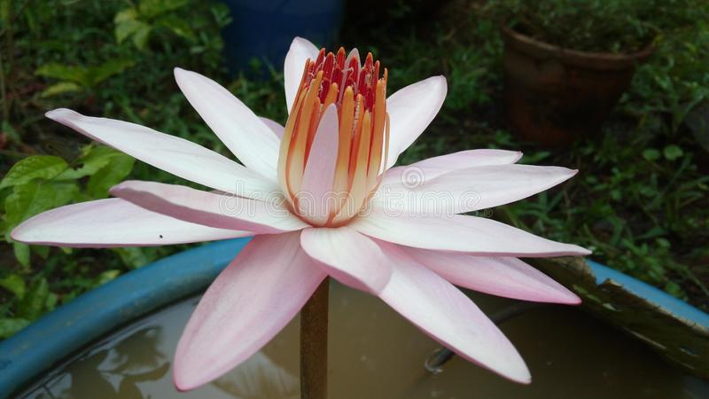 Witte strook roze lotusbloem stock afbeelding