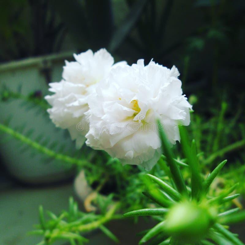 Witte tablerose royalty-vrije stock afbeelding