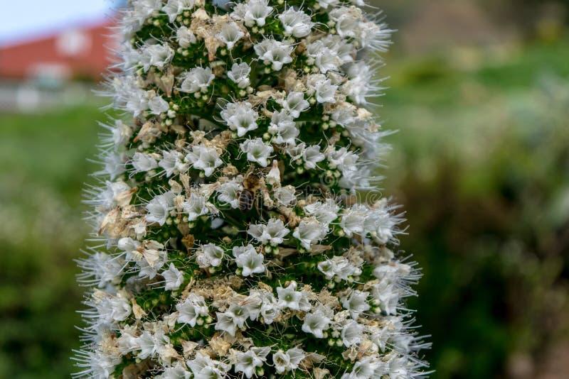 Witte Tajinaste, Canarische Eilanden stock foto