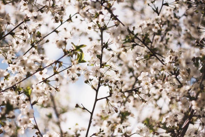 Witte takken van een bloeiende Apple-boom tegen de blauwe hemel Bloeiende tuinbomen in de lente stock afbeelding