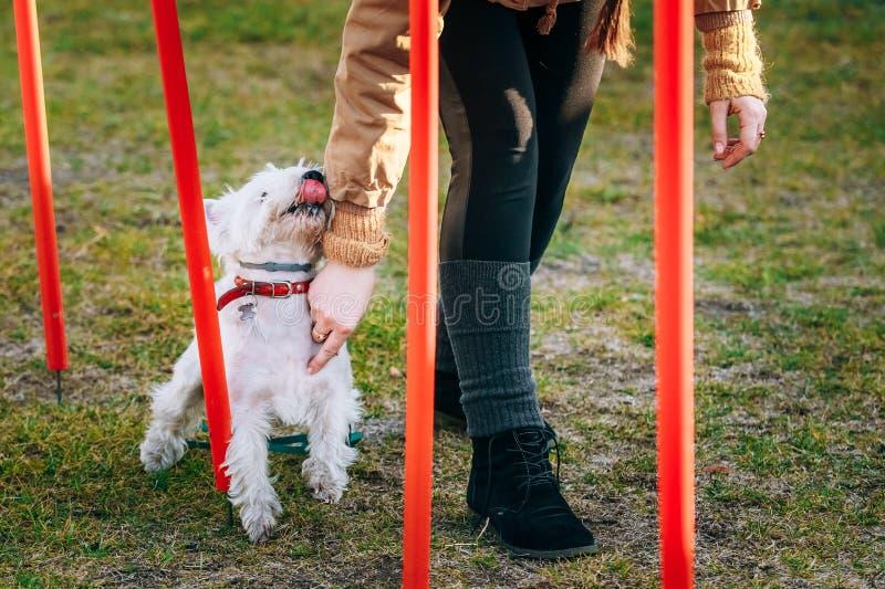 Witte terrierdog die van het het westenhoogland behendigheid doen - lopende slalom stock fotografie