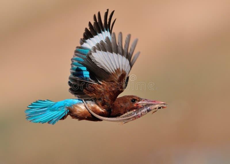Witte Throated-Ijsvogel met hagedis royalty-vrije stock afbeeldingen