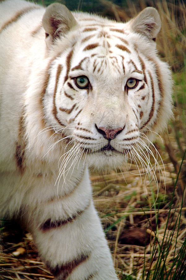 Witte tijger royalty-vrije stock afbeeldingen