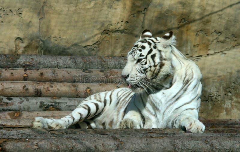 Download Witte tijger stock afbeelding. Afbeelding bestaande uit groot - 10782387