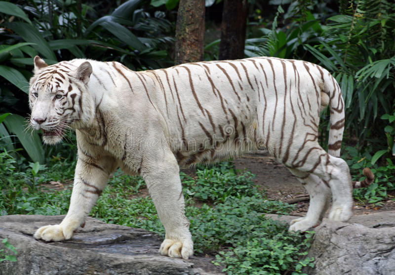 Witte tijger stock foto