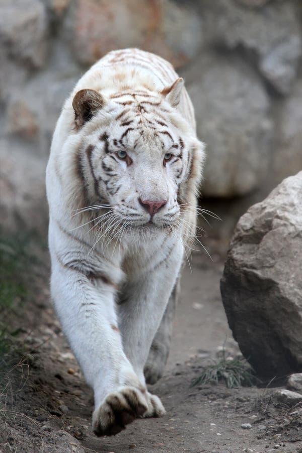 Download Witte tijger stock afbeelding. Afbeelding bestaande uit jong - 29505211