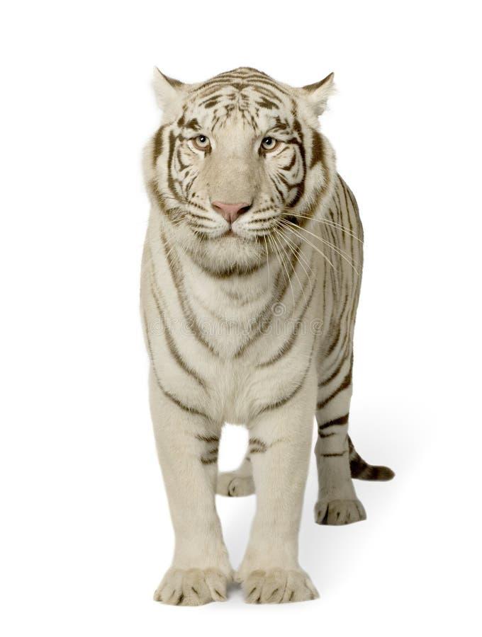 Witte Tijger (3 jaar) royalty-vrije stock afbeelding