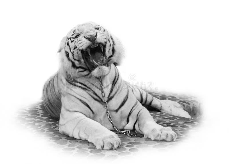 Witte tijger stock foto's