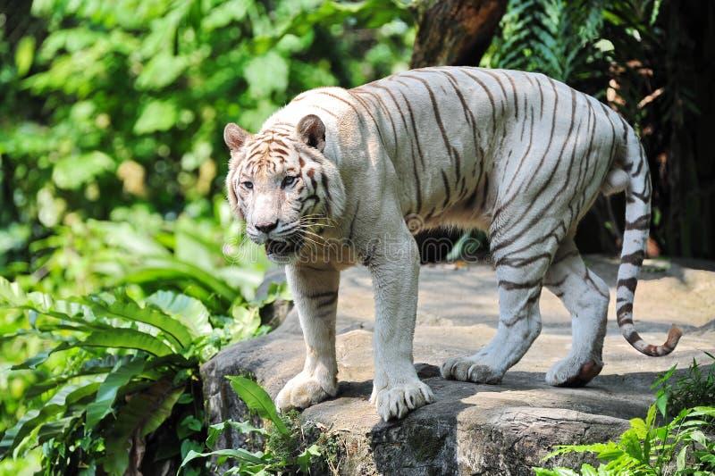 Witte tijger bij de rand van klip royalty-vrije stock foto