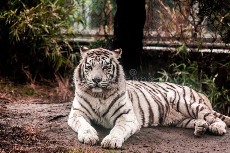 Witte tijger De witte tijger legt in het dierentuinvogelhuis Siberische Tijger, Tijger Amur stock fotografie