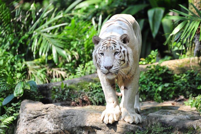 Witte tijger die bij zijn prooi staart royalty-vrije stock afbeelding