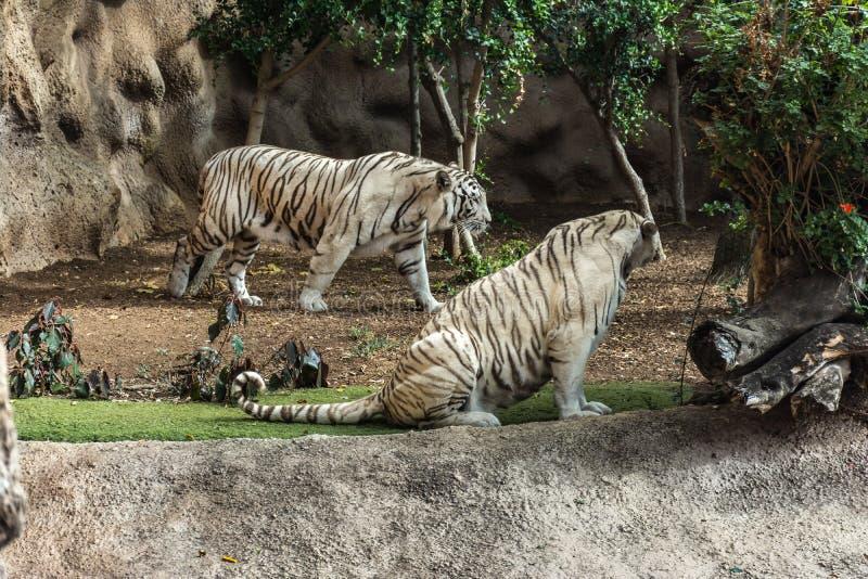 Witte tijger in een dierentuin in goed Dierenwelzijn in een dierentuin Witte tijger in een dierentuin in goede staat royalty-vrije stock foto
