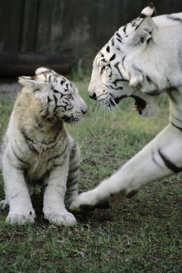 Witte Tijger met Baby royalty-vrije stock foto's