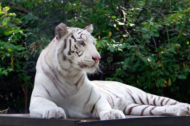Witte tijger op de groene achtergrond van de bomenbrunch royalty-vrije stock afbeelding