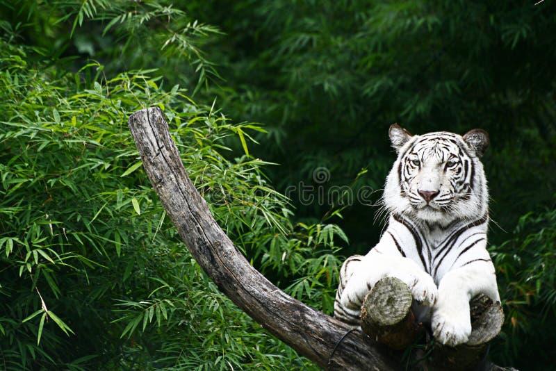Witte tijger op houten tak stock afbeelding