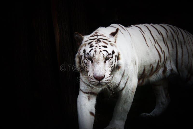 Witte tijger in wildness royalty-vrije stock afbeeldingen